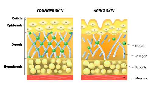 photo retouch ageing skin cross section